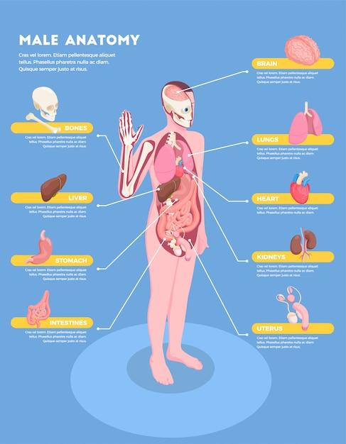 Infografiken der männlichen anatomie mit ikonen 3d der inneren organe isometrisch Kostenlosen Vektoren