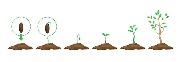 Infografiken der pflanzung von pflanzen. stufen des wachstums. grüne triebe mit blättern und boden. auswuchs samen Premium Vektoren