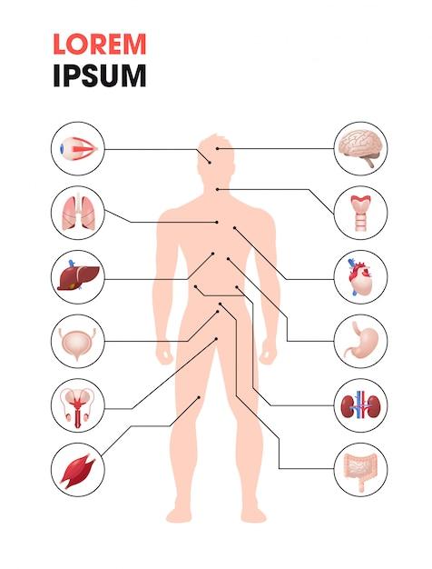 Infografikplakat der menschlichen körperstruktur mit den anatomiensystemen der inneren organe in voller länge vertikal Premium Vektoren