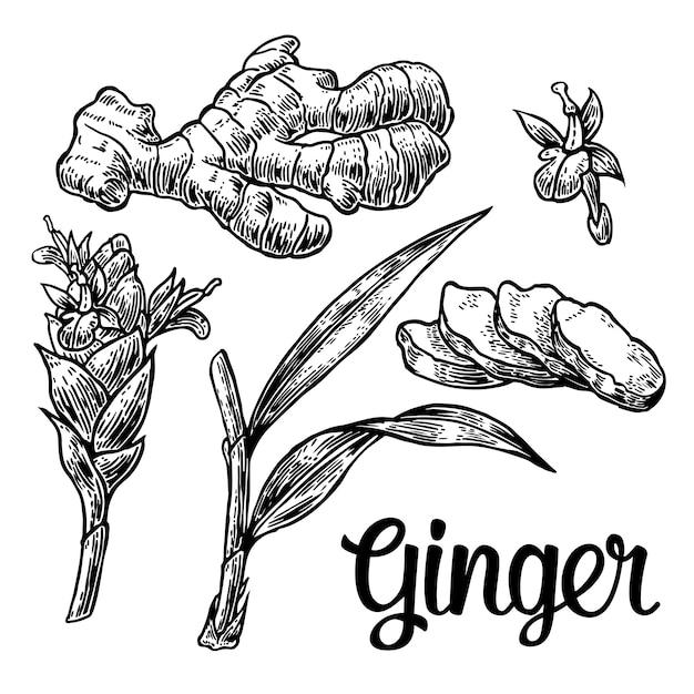 Ingwer. wurzel, wurzelschnitt, blätter, blütenknospen, stängel. retro- illustration der weinlese für die kräuter und gewürze eingestellt. Premium Vektoren