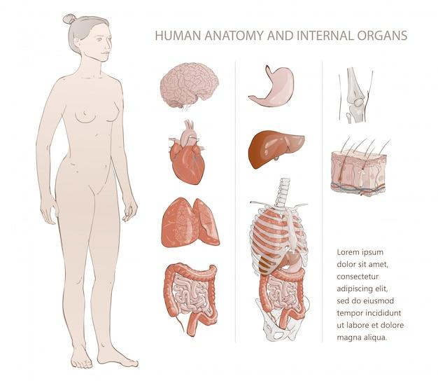 Innere menschliche organe Premium Vektoren