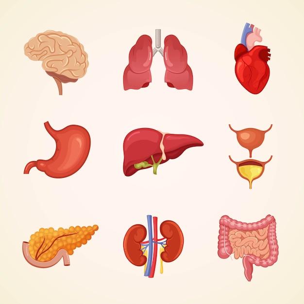 Innere organe des menschen Premium Vektoren