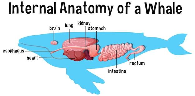 Interne anatomie eines wals mit etikett Kostenlosen Vektoren
