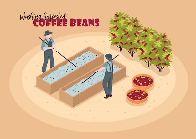 Isometrische kaffeeproduktionsfarbe mit charakteren von zwei arbeitskräften, die geerntete kaffeebohnen mit text waschen Kostenlosen Vektoren