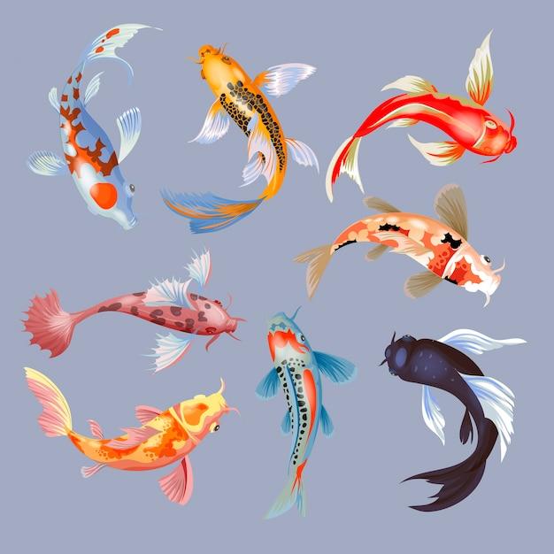 Japanischer karpfen der koi-fischillustration und bunter orientalischer koi in asien-satz des chinesischen goldfisches und des isolierten hintergrunds der traditionellen fischerei. Premium Vektoren