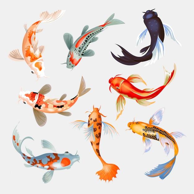 Japanischer karpfen der koi-fischillustration und der bunte orientalische koi in asien setzen chinesischen goldfisch und traditionellen fischerei lokalisierten hintergrund Premium Vektoren