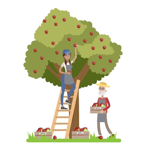 Junge glückliche landwirtin, die auf der leiter steht und rote äpfel von einem riesigen apfelbaum pflückt. alter bauer, der äpfel in einer schachtel sammelt. sommer auf dem land. illustration Premium Vektoren