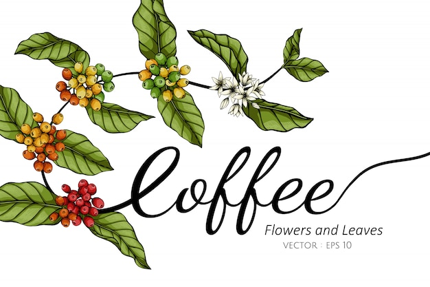 Kaffeeblumen- und blattzeichnungsillustration mit strichzeichnungen auf weiß Premium Vektoren