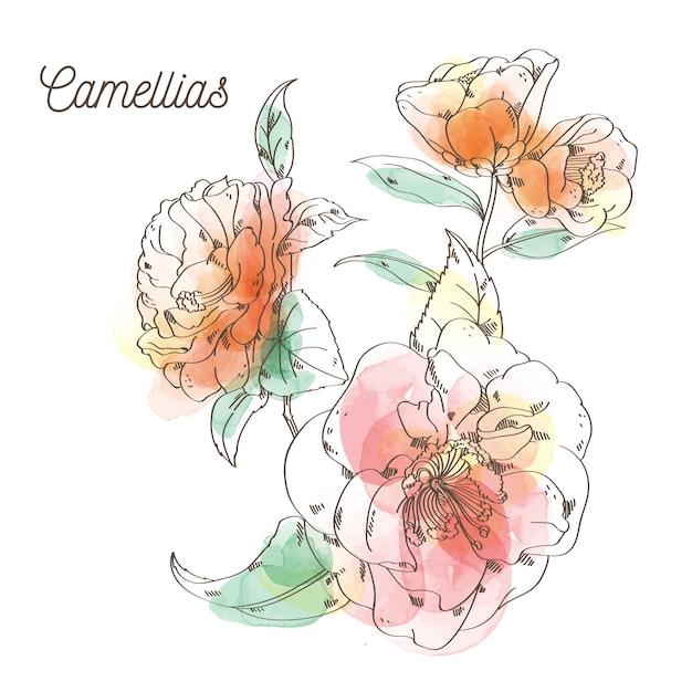 Kamelienblumenmalerei auf weißem hintergrund Premium Vektoren