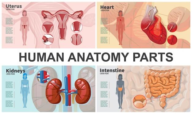 Karikatur menschliche organzusammensetzung mit frau silhouetten nieren darm herz gebärmutter anatomie Kostenlosen Vektoren