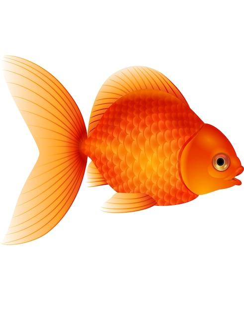 Karikaturgoldfisch lokalisiert auf weißem hintergrund Premium Vektoren