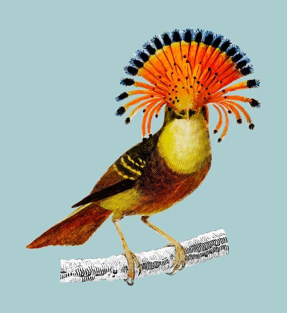 Königlicher fliegenschnäpper (onychorhynchus) Kostenlosen Vektoren