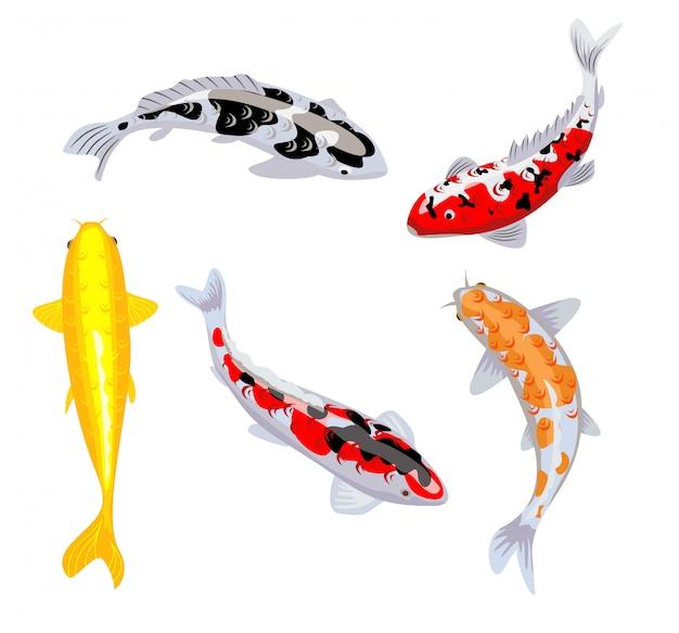 Koi karpfenfische illustration. koifisch. japanischer koi-fisch auf weißem hintergrund, chinesisches goldfischbild. schwimmender orientalischer goldfisch auf blauem hintergrund. Premium Vektoren