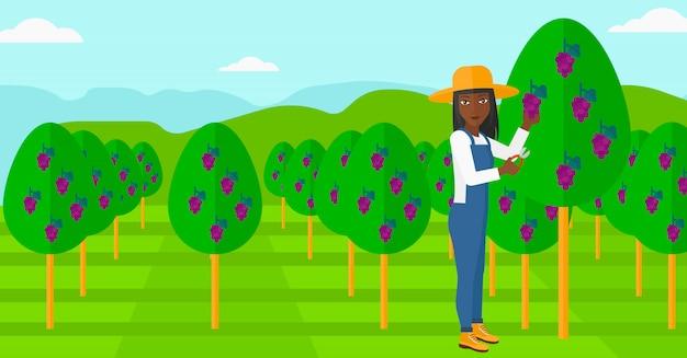 Landwirt, der trauben sammelt. Premium Vektoren