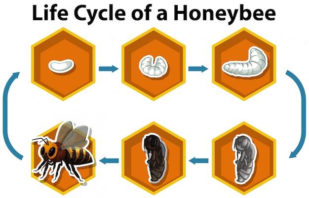 Lebenszyklus einer honigbiene Kostenlosen Vektoren