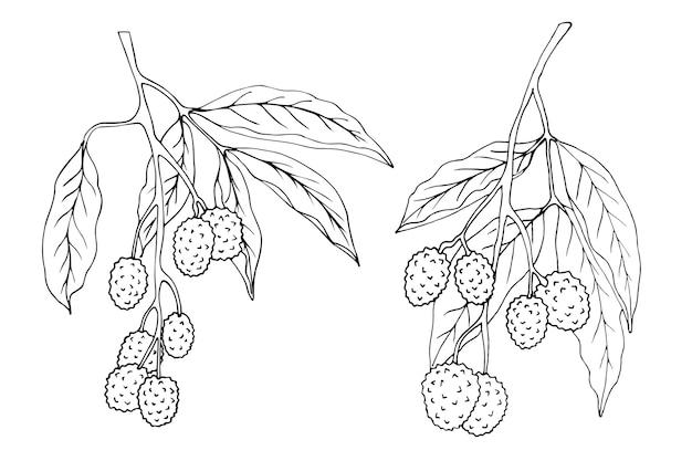 Litschi zweige sind schwarz und weiß isoliert auf einem weißen hintergrund, gezeichnet Premium Vektoren