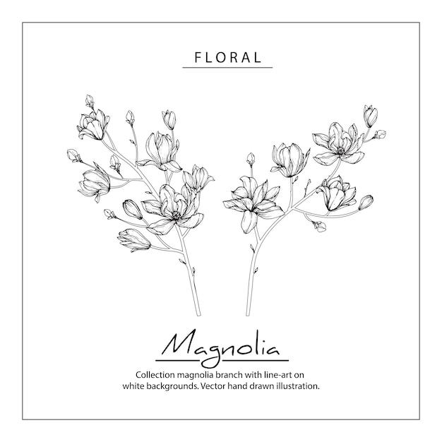 Magnolienblütenzeichnungen. vintage hand gezeichnete botanische illustrationen. Premium Vektoren