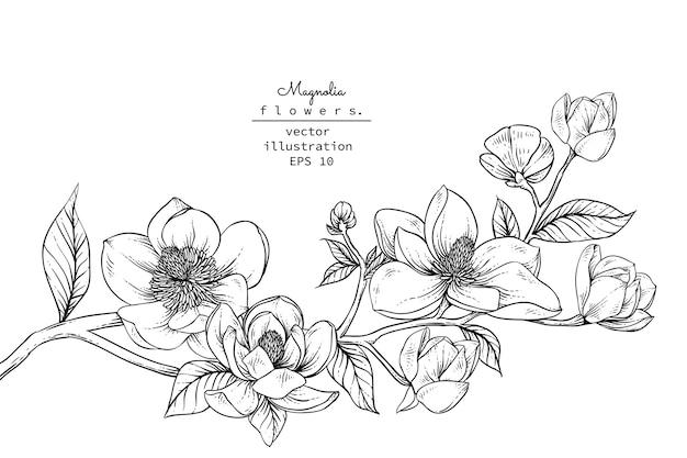Magnolienblütenzeichnungen. Premium Vektoren