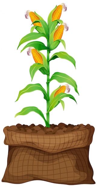 Mais, der im braunen beutel auf weißem hintergrund wächst Kostenlosen Vektoren