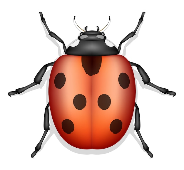 Marienkäfer insekt vektor isoliert Premium Vektoren