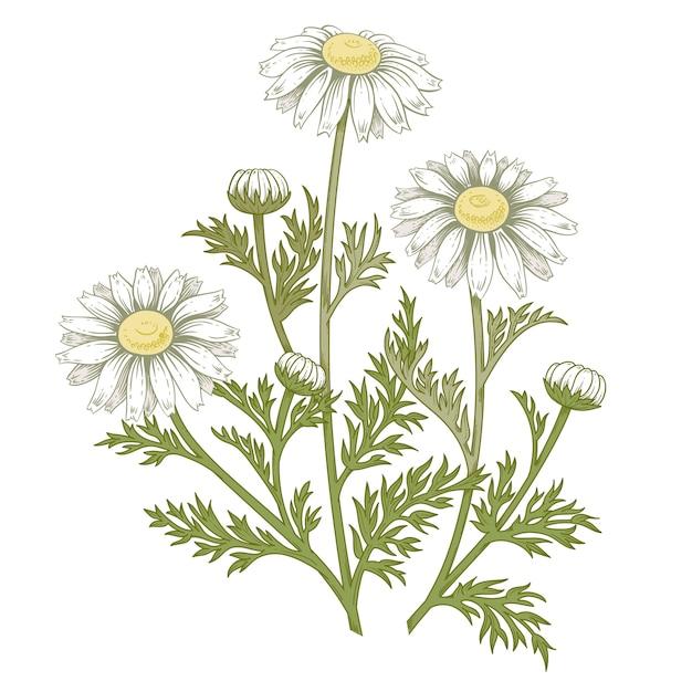 Medizinische gänseblümchenblume. Premium Vektoren