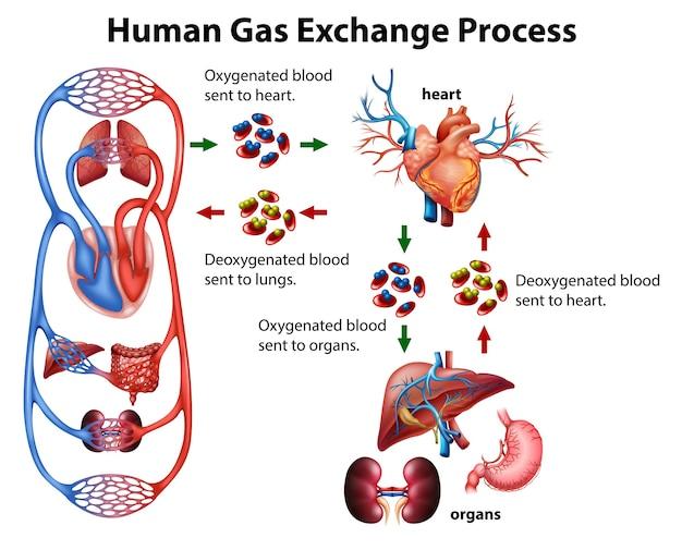 Medizinische infografik des menschlichen gasaustauschprozesses Kostenlosen Vektoren