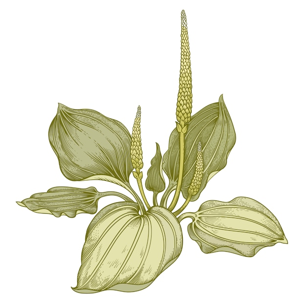 Medizinische kräuter banane. Premium Vektoren