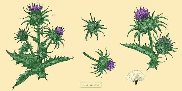 Medizinische mariendistelpflanze, handgezeichnete botanische illustration in einem trendigen flachen stil Premium Vektoren