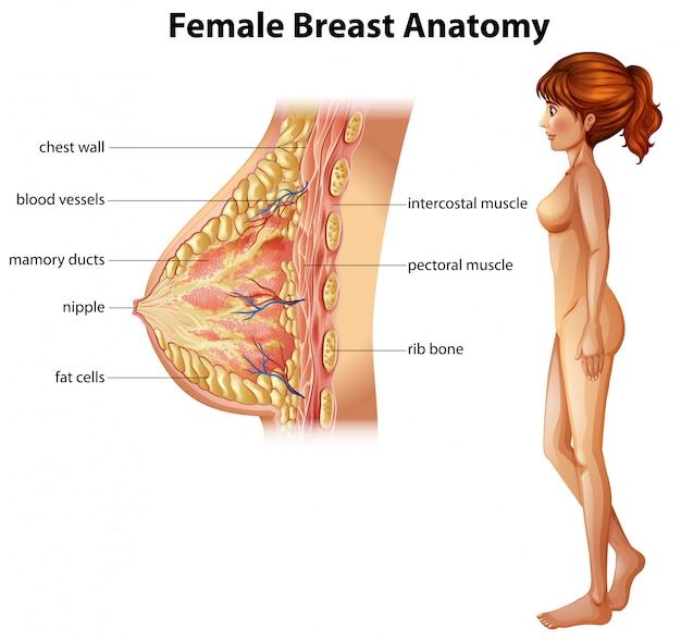 Menschliche Anatomie der weiblichen Brust | Download der Premium Vektor