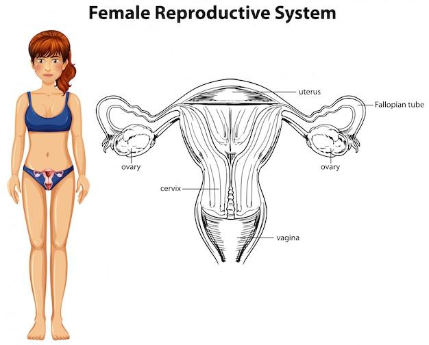 Menschliche Anatomie des weiblichen Fortpflanzungssystems | Download ...