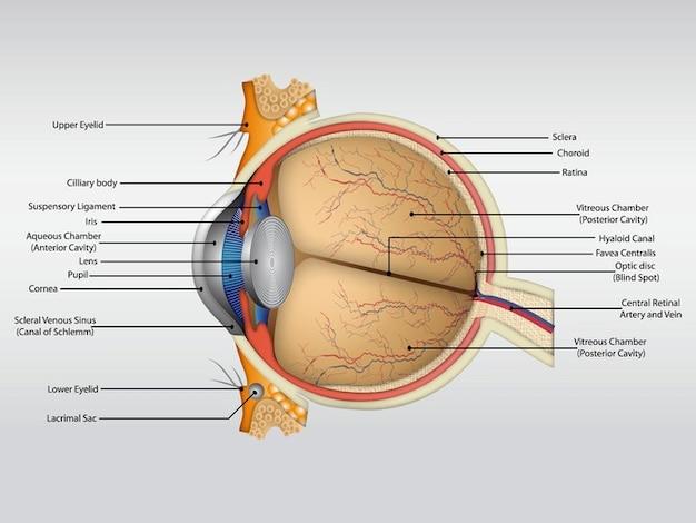 Menschliche Anatomie Körperorgan Vektor | Download der kostenlosen ...