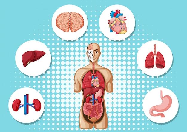 Menschliche anatomie mit verschiedenen organen Premium Vektoren