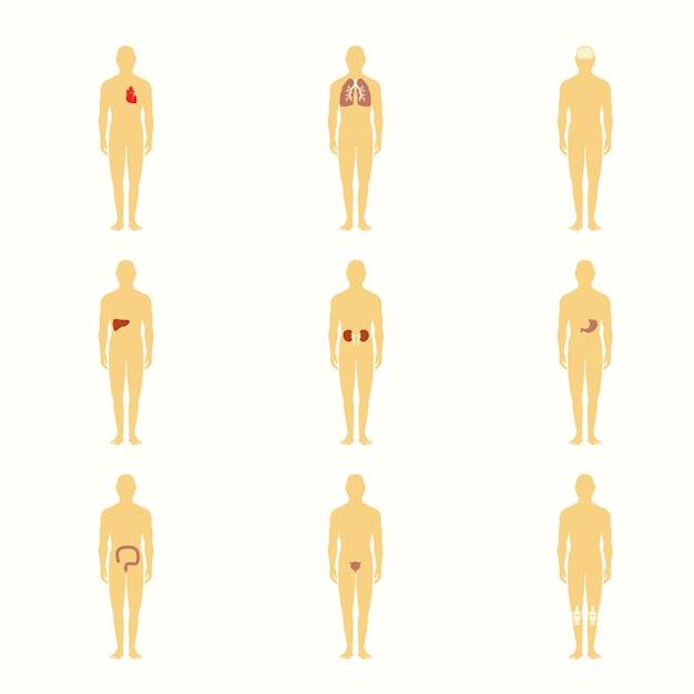 Menschliche figuren mit inneren organen Premium Vektoren