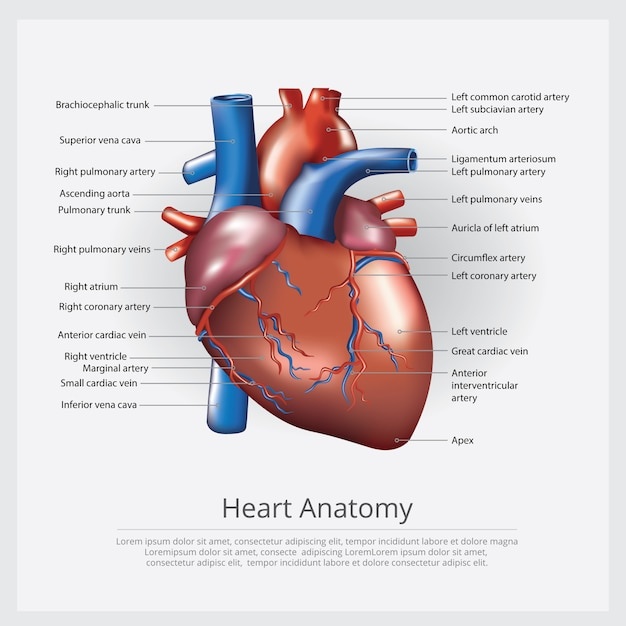 Menschliche herz-anatomie-vektor-illustration Premium Vektoren