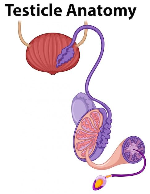 Menschliche Hoden-Anatomie auf weißem Hintergrund | Download der ...