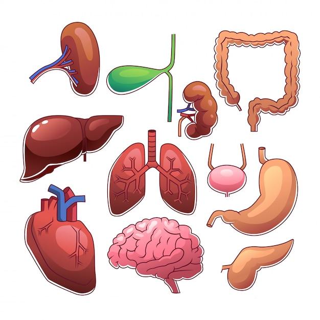 Menschliche innere organe Premium Vektoren