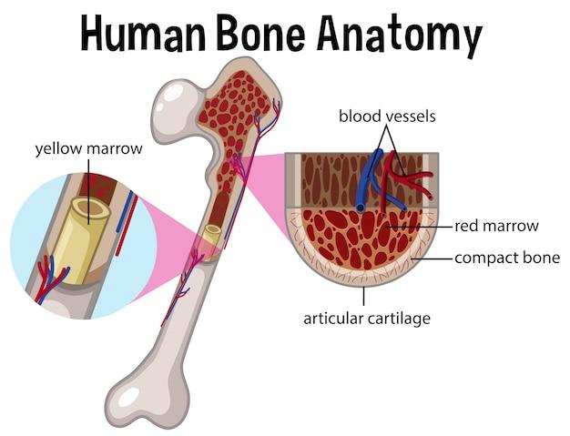 Menschliche Knochenanatomie und Diagramm | Download der Premium Vektor