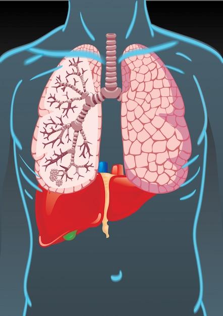Menschlicher Körper mit inneren Organen   Download der Premium Vektor