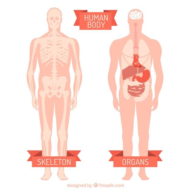 Menschlicher Körper | Download der kostenlosen Vektor