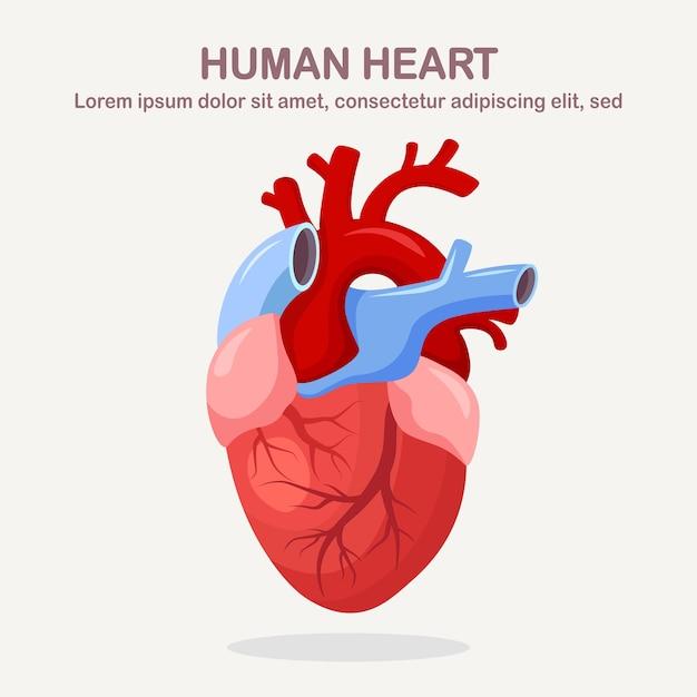 Menschliches herz lokalisiert auf weißem hintergrund. kardiologie, anatomiekonzept. cartoon design Premium Vektoren