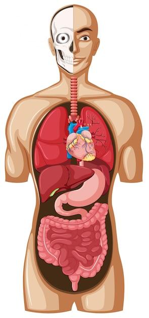 Menschliches modell mit organen Kostenlosen Vektoren