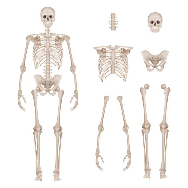 Menschliches skelett. körperteile schädelknochen hände fuß wirbelsäule anatomie detaillierte realistische illustration Premium Vektoren