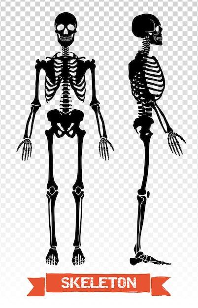 Menschliches skelett transparent set Kostenlosen Vektoren