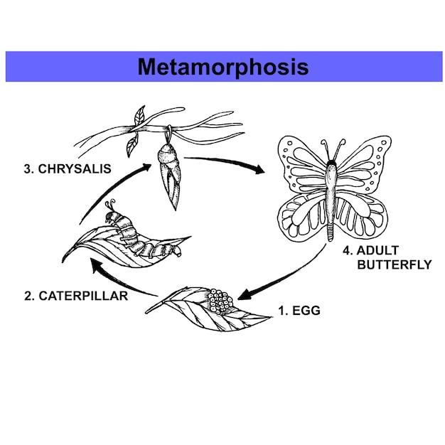 Metamorphose-Schmetterling | Download der Premium Vektor