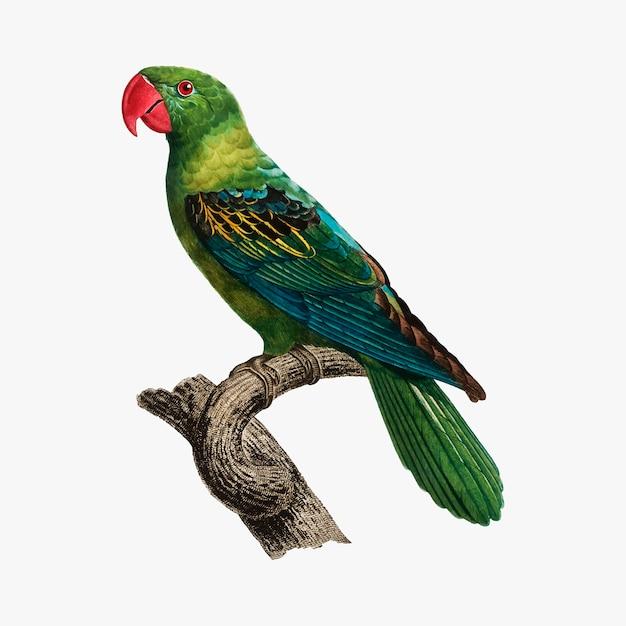 Molukkischer papagei Kostenlosen Vektoren