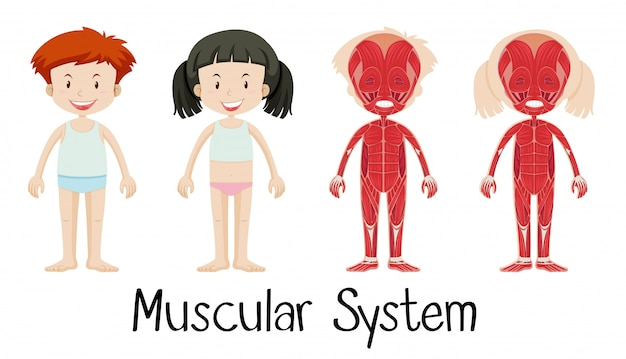 Muskelsystem von jungen und mädchen Kostenlosen Vektoren