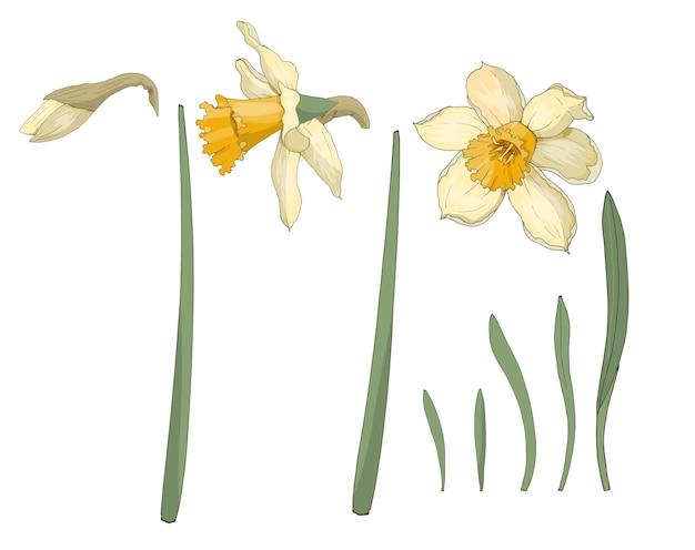 Narzisse. nahansicht. frühlingsblumen. satz von blumen, blättern, knospe der narzisse. mehrfarbiges bild. dekorelement. illustration. Premium Vektoren