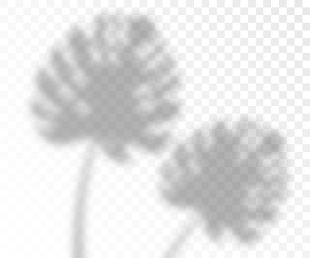 Natürlicher überlagerungsbeleuchtungsschatteneffekt von monsterblättern, realistisch auf transparentem hintergrund. fotorealistische schablone des tropischen blattes. Premium Vektoren