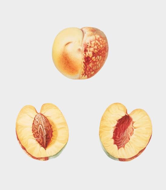Nektarine von pomona italiana-abbildung Kostenlosen Vektoren
