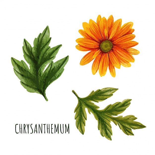 Orange chrysanthemenblume mit blättern, teepflanze Premium Vektoren
